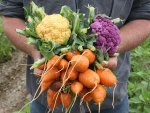 Male hands holding freshly harvested carrots and cauliflower